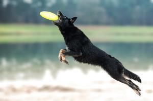 Honden frisbee dogfrisbee